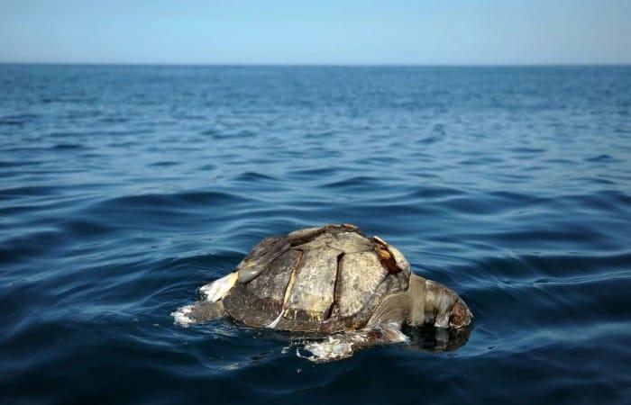 Hundreds of dead sea turtles found floating off El Salvador