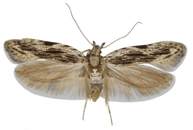 Science: New moth species discovered in Denmark