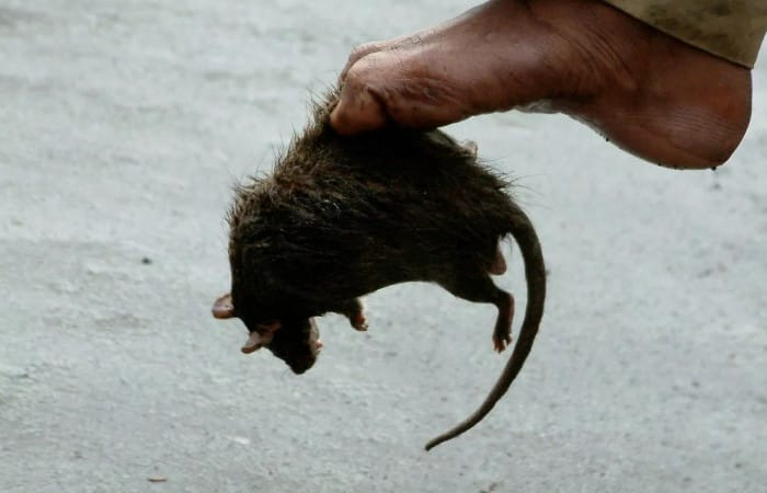 Swedish town Sundsvall keeps doors, windows closed due to plague of giant rats