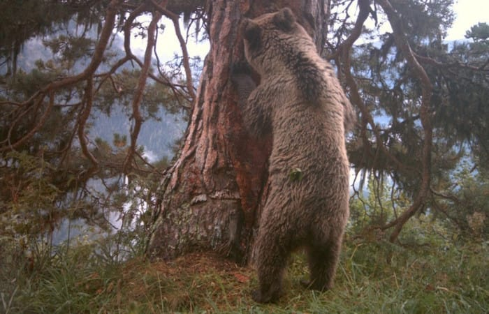 French farmers furious as French authorities announce more bears for the Pyrenees