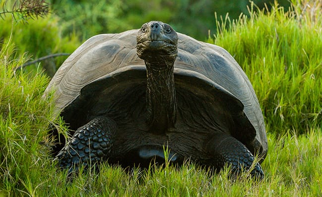 Giant tortoise considered extinct 100 years ago is discovered in Galapagos