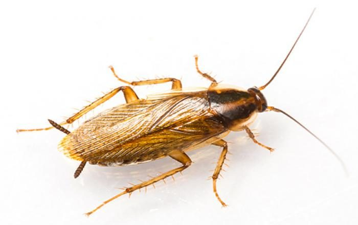 Cockroaches could soon be resistant to the pesticides