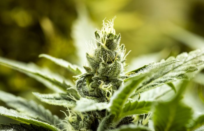 Zimbabwe kicks off cannabis industry with plants on prison grounds
