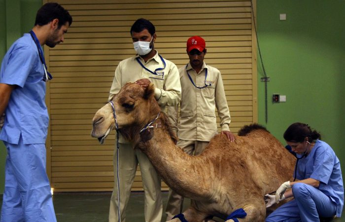 Saudi Arabia opens largest camel hospital in the world
