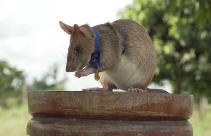 Landmine detection rat awarded gold medal for 'lifesaving bravery'