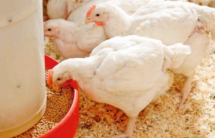 United Kingdom bird flu outbreak leads to mass turkey cull