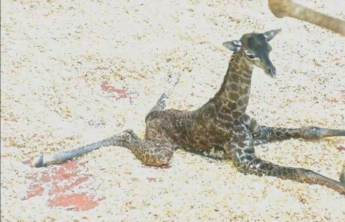 Newborn giraffe dies at Nashville Zoo