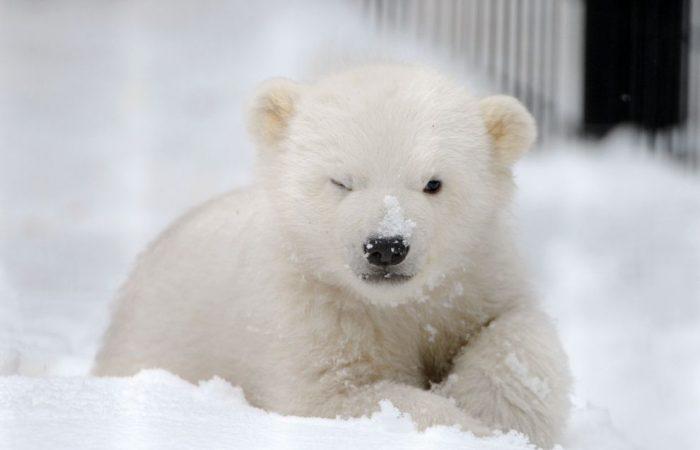 Baby polar bear sent to Moscow zoo for rehabilitation