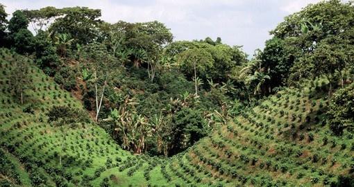 Cuba extends coffee plantations to plain ground